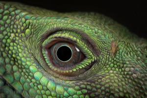 Water Dragon Oily by Robert Chapman
